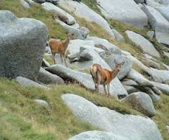 deer on rocks