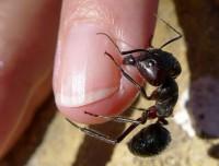 Carpenter Ants 10.1.15